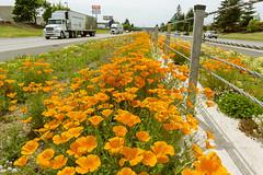 Safety poppies (OregonDOT) Tags: salem odot interstate5 goorange oregondot goorangeforsafety