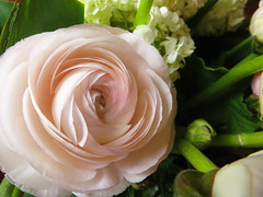 Mother's Day ranunculus  ..Anyk napi boglrka. (Marinyu..) Tags: macro day ranunculus mothers mothersday virg ranunculusasiaticus boglrka macrorzsaszinboglrka