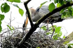 Breakfast (Aurora Santiago Photography) Tags: seattle feeding chick greatblueheron rookery commodorepark