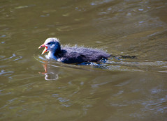 Coot chick swimming (Dave_A_2007) Tags: england bird nature wildlife coot wolverhampton fulicaatra