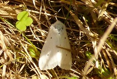 Female Muslin moth (postman.pete) Tags: china city family flowers blue friends england blackandwhite italy food dog india house holiday chicago canada black france flower color green bird fall film beach halloween girl car fashion birds animal bike festival clouds cat canon butterfly germany garden de geotagged fun island graffiti hawaii dance football concert europe italia day florida outdoor snake moth holly deer essex colchester songbird iphone iphoneography instagramapp hwcp