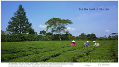 Tea Harvest in Vietnam (rusamesame) Tags: tea greenery greentea teaplantation tealeaves teapicking teaharvest