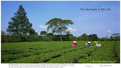 Tea Harvest in Vietnam (rusamesame) Tags: tea greenery greentea teaplantation tealeaves teapicking teaharvest