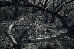 Tree Trap 2 (JeffStewartPhotos) Tags: trees blackandwhite bw toronto ontario canada rotting blackwhite stclair fallen photowalk toned westonroad torontophotowalk topw torontophotowalks topwsc