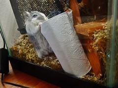 DSCN1015 (therovingeye) Tags: pets animals gerbil rodents gerbilhabitat