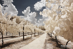Lakeside-Winery-Infrared (FoxBox Photography) Tags: trees clouds vineyard country winery grapes infrared channel swapped 720nm