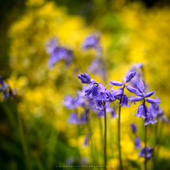 Bluebells (w.mekwi photography) Tags: flower nature floral bluebells outdoors dof hbw bokehwednesday nikond800 wmekwiphotography