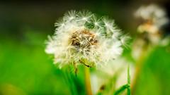 Taraxacum (Philippe.C.) Tags: test nature fleur 50mm bokeh f14 pissenlit taraxacum