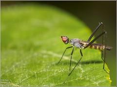 Micropezidae / Ecuador - Pastaza (just_me78) Tags: macro nature animals closeup insect tiere ecuador natur insects olympus makro insekt insekten omd em1 raynox pastaza micropezidae