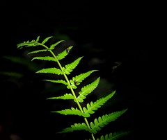 Fern Study (mswan777) Tags: sunlight macro green nature up contrast forest spring nikon close michigan patterns sigma ants 70300mm isolate d5100