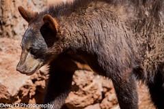 BlackBearMarked03 (1 of 1) (coldtrance) Tags: bear arizona black animal canon mammal outdoors wildlife blackbear canont3