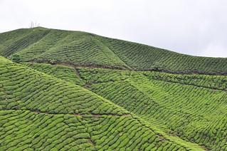 cameron highlands- malaisie 31