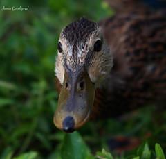Duckling (jamiegoodspeed) Tags: baby birds animals florida wildlife birding duckling young ducks