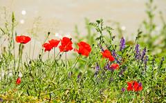 Jun 9: Wild Poppies by Danube River (johan.pipet) Tags: flickr kvet flora poppy flower grass river rieka mak div jar sunny dunaj danube donau devin devn warm detail macro bratislava slovakia slovensko eu europe barto bartos palo canon embankment