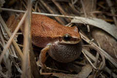 Litoria rubella calling (Cameron de Jong) Tags: call frog litoria rubella