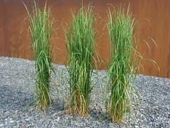 Reitgras vor der Blte (Jrg Paul Kaspari) Tags: grass juni modern garden steel gras calamagrostis rost garten stahl 2016 schiefer edelrost frhsommer wincheringen reitgras acutiflora karl foerster