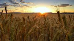 Looking For Life (Chris Lakoduk) Tags: wheat wheatfield sunset wheatfieldatsunset wheatsunset washingtonstatewheatfield washingtonstate centralwashington grantcountywashingtonstate farm farmersfield wheatfarm whitewheat life