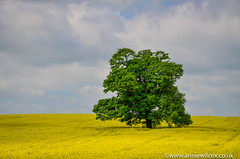 beautiful brassica napus (AnnieWilcoxPhotography) Tags: sky cloud color tree yellow photography nikon scenery may rape crop botany staffordshire a41 rapeseed 2016 travelphotography landscapephotography brassicanapus flowerphotography rapeseedoil plantphotography thebradshaws d7000 holyheadroad anniewilcox wwwanniewilcoxcouk anniew69 arbremerveilleux