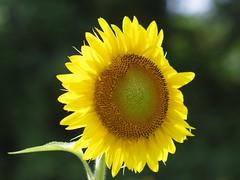 Seeking the Sun (bamboosage) Tags: auto takumar m42 18 85
