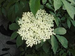145 (en-ri) Tags: fiorellini flowers bianco sony sonysti