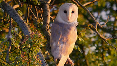 A white wish (jump for joy2010) Tags: uk england birds june closeup dusk somerset owl perched barnowl goldenhour hawthorn tytoalba 2016 somersetlevels lookingatthecamera