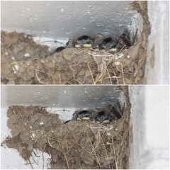 Swallow chicks.........................view large. (stu.bloggs..Dont do Sundays) Tags: birds june mud nest wildlife young chicks swallow shelter northyorkshire swallows youngsters 2016 commondale