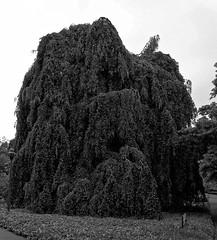Buche in Hiltrup - 2016 - 0002_Web (berni.radke) Tags: tree giant baum beech mnster buche colossus riese hiltrup