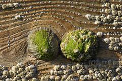 Sea Shells (Treflyn) Tags: wood sea shell groyne isleofman