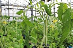 Les tomates arrivent bientôt...encore un peu de patience !