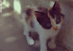 Innocence (dinoscom) Tags: kitten cat eyes cute small  nikon nikond40 d40