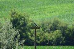 DSC_6002 (gerald2231) Tags: bird vogel selten blauracke
