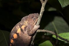 Female panther chameleon, Lakeland Wildlife Oasis, near Milnthorpe, Cumbria, UK (Ministry) Tags: panther chameleon furciferpardalis lakelandwildlifeoasis milnthorpe zoo hale cumbria uk bush leaf female