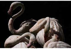 European Flamingo (Strange Artifact) Tags: olympus em10 markii mzuiko digital ed 75300mm f4867 ii burgers zoo european flamingo