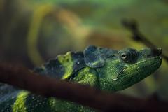 Meller's Chameleon 01 (cypher40k Photography) Tags: toronto color colour zoo nikon reptile chameleon torontozoo mellerschameleon
