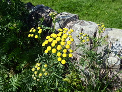 Tansy (nz_willowherb) Tags: wall scotland fife tansy tentsmuir tanacetumvulgare