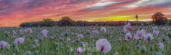 Panoramic Dorset Opium Poppy Sunrise (Emily_Endean_Photography) Tags: sunrise poppy field dorset countryside morning fire colour pink red nikon