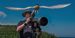 wildlife photographer (Stu115) Tags: bird fly flight observe scare farne tern flap wingspan soar startle