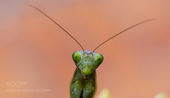 Here I am! (tycampbe) Tags: ifttt 500px flower closeup insect close up mantis bug religiosa mantide 500pxfresh