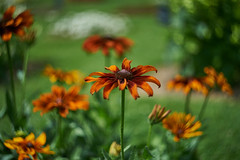 Cream (Dianeros) Tags: flower color orange green bokeh swirly garden