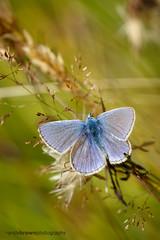 Common Blue (m) (ABPhotosUK) Tags: animals butterflies canon commonblue dartmoor devon ef100400mmisii ef25mmextensiontube eos7dmarkii invertebrates lepidoptera lycaenidae macro nocrop polyommatusicarus wildlife