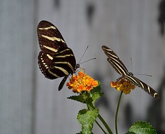 Double Take (ACEZandEIGHTZ) Tags: nikon d3200 butterflies zebralongwing flying insect coth sunrays5 lantana nature ngc coth5 npc heliconius charithonia