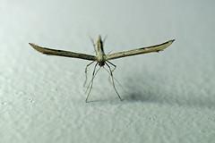 366 - Image 239 - Plume Moth... (Gary Neville) Tags: 365 365images 366 366images photoaday 2016 sonycybershotrx100 sony sonycybershotrx100iii rx100 mk3 garyneville raynox