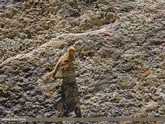Mongolian Finch (Bucanetes mongolicus) (gilgit2) Tags: avifauna birds canon canoneos7dmarkii category chitral fauna feathers geotagged harchin imranshah kpk location mongolianfinchbucanetesmongolicus pakistan species tags tamron tamronsp150600mmf563divcusd wildlife wings gilgit2 bucanetesmongolicus