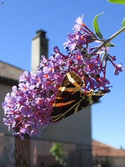 Euplagia quadripunctaria (Sur mon chemin, j'ai rencontr...) Tags: papillons butterflies euplagiaquadripunctaria ecaille chine erebidae