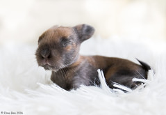 11 day old rabbit (Elma_Ben) Tags: rabbit beautiful cute canoneos7dmarkii canon1635mmf28 kit elmaben iceland adorable