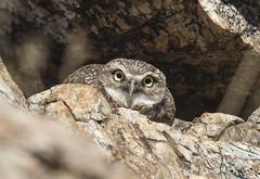 Burrowing Owl (Jerry Ting) Tags: coyotehillsregionalpark fremont california ebparksok burrowingowl