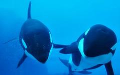 Lynn and Earth (EmilyOrca) Tags: orca aquarium cetacean training session underwater face greeting blue marine mammal light pool