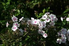 IMG_4594 (ianharrywebb) Tags: edinburgh iansdigitalphotos royalbotanicgardens flowers flower