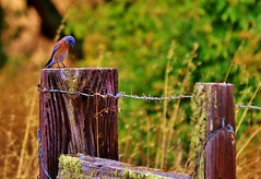 September13image0981cropped (Michael T. Morales) Tags: californiabluebird bluebird westernbluebird bird ranacreekranch carmelvalley fence barbedwirefence