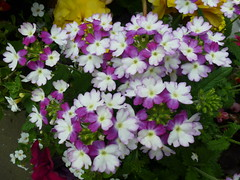 Purple and White Flowers ! (Mara 1) Tags: flowers summer outdoors petals clusters purple white green leaves